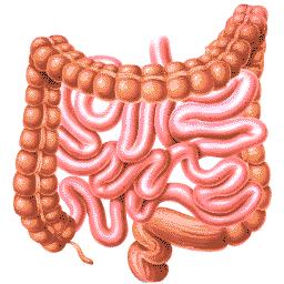 De darmen van een mens
